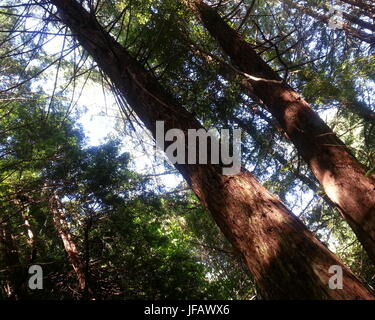 Redwoods in the Afternoon - Stock Photo