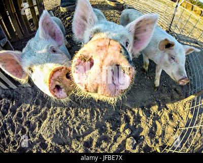 three little pigs on the farm - Stock Photo