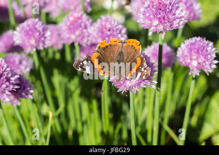 Dorsal view of red admiral (vanessa atalanta) butterfly sitting on a chive blossom, shallow depth of field macro - Stock Photo