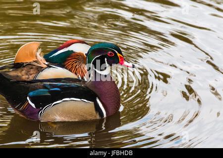 Mandarin ducks on a pond - Stock Photo