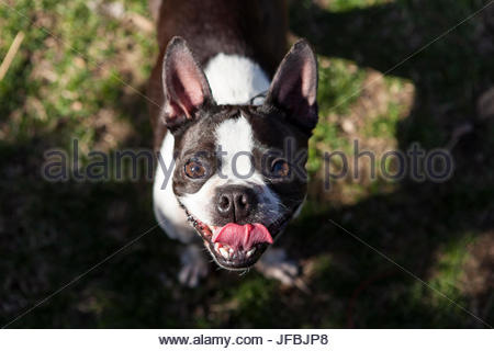 A young Boston Terrier plays in her backyard and smiles at the camera. - Stock Photo