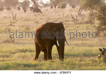 An African elephant, Loxodonta africana, at sunrise. African buffalo graze in the distance. - Stock Photo