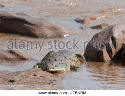 A Nile crocodile, Crocodylus niloticus, resting on a river bank. - Stock Photo