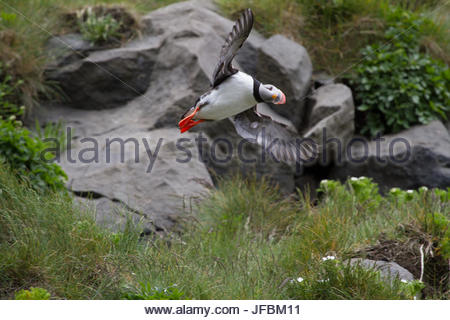 An Atlantic puffin in flight. - Stock Photo