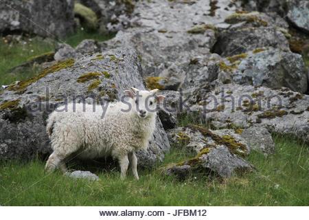 Portrait of an Icelandic sheep. - Stock Photo