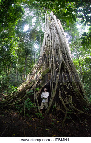 A man stands in the hollow of a giant fig tree, Ficus, in the rainforest. - Stock Photo