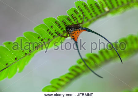 A spiny crab orbweaver, Gasteracantha arcuata, upside down on a fern in the rainforest. - Stock Photo