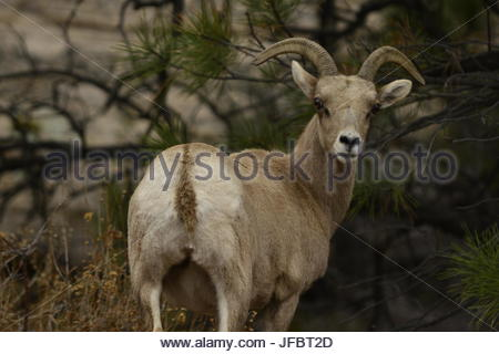 A mountain goat looks at the camera. - Stock Photo