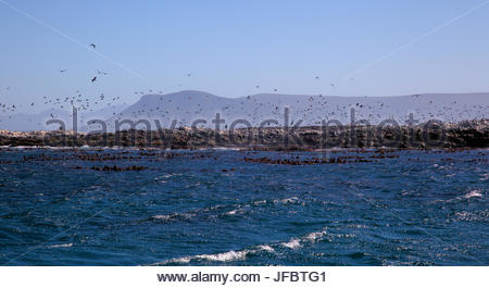 A colony of Cape fur seals, Arctocephalus pusillus pusillus, on Dyer Island and Geyser Island off the coast of South - Stock Photo