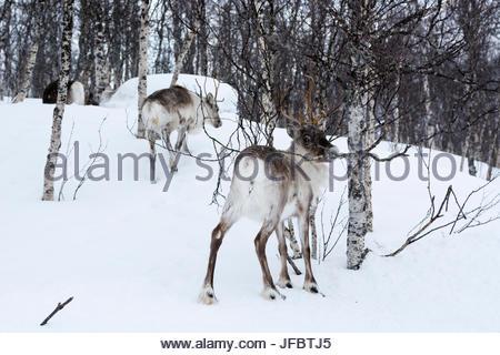 Two reindeer, Rangifer tarandus, in a snowy forest landscape. - Stock Photo