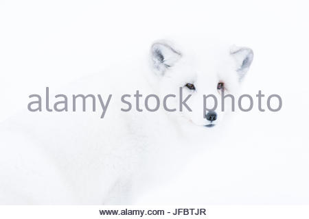 Close up portrait of an arctic fox, Vulpes lagopus, in the snow. - Stock Photo