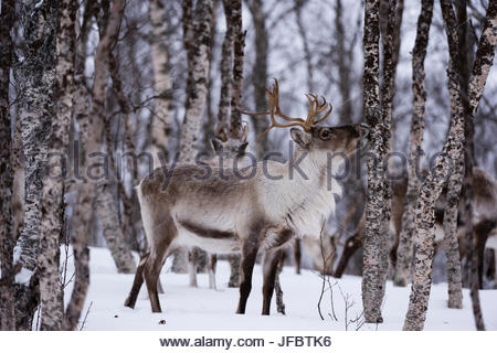 A reindeer, Rangifer tarandus, in a snowy forest. - Stock Photo