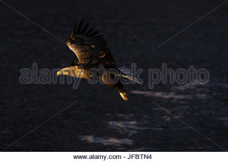 A white-tailed eagle, Haliaeetus albicilla, in flight. - Stock Photo
