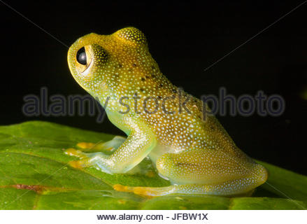 Portrait of a granular glass frog, Cochranella granulosa. - Stock Photo