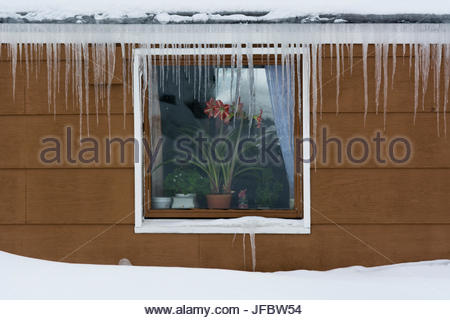 Icicles hanging from the eaves of a house. A amaryllis blooms in the window. - Stock Photo