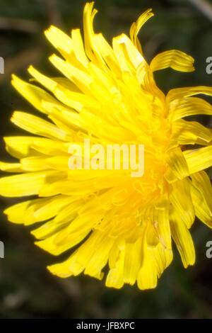 Macro shot of the dandelion - Stock Photo