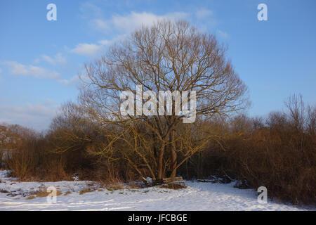 Salix alba, Silver Willow - Stock Photo