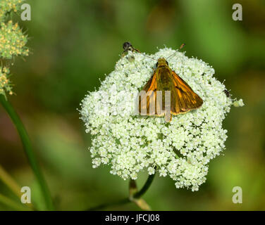 butterfly, small skipper, - Stock Photo