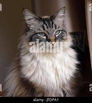 Ragdoll Cat Indoor Portrait - Stock Photo