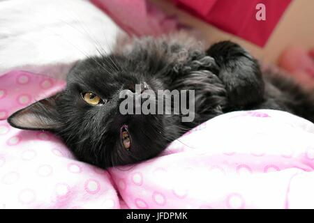 Black Cat Laying On Their Back On A Bed. - Stock Photo