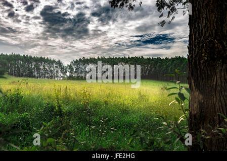 Eucalyptus trees in Brazil forest. - Stock Photo