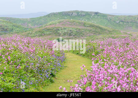 Pathway through the wildflowers. In late spring red campion (Silene dioica) and bluebells, Hyacinthoides non-scripta - Stock Photo