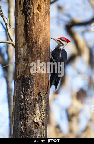 Pileated Woodpecker looking for food. - Stock Photo