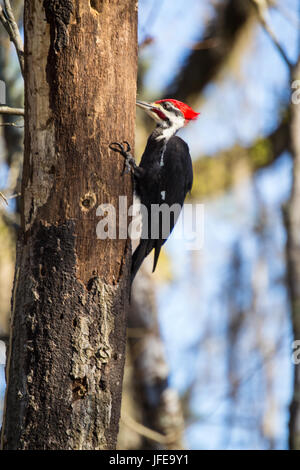 Pileated Woodpecker foraging for insects. - Stock Photo