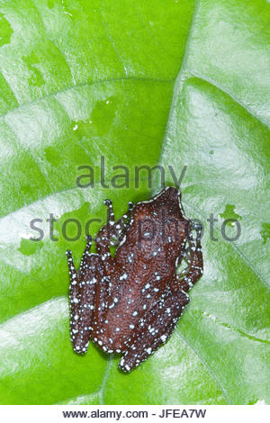 A cinnamon tree frog, Nyctixalus pictus, on a leaf. - Stock Photo
