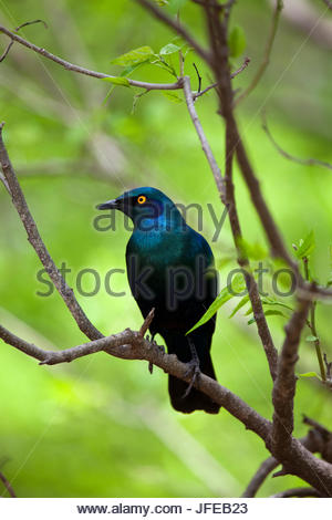 Cape glossy starling, Lamprotornis nitens, perched on a branch. - Stock Photo