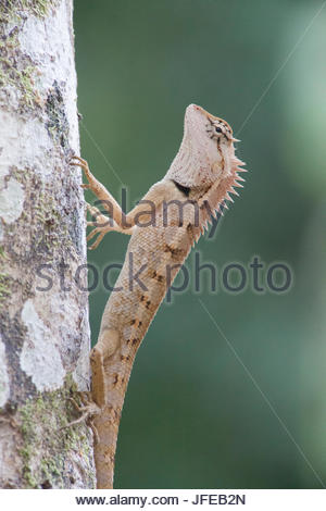 An Emma Gray's forest lizard, Calotes emma, on a tree trunk. - Stock Photo