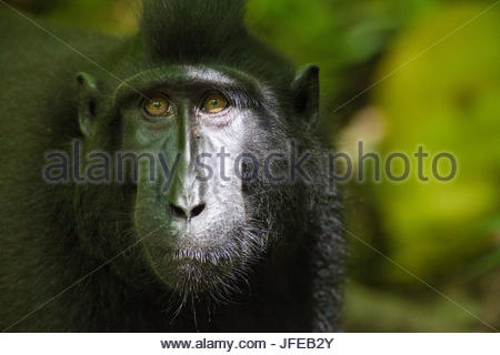 Portrait of a critically endangered Celebes crested macaque, Macaca nigra, in a rainforest. - Stock Photo