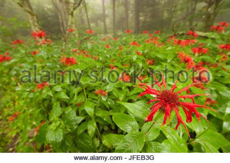 Wild bee balm or bergamot, Monarda fistulosa, growing in a misty forest. - Stock Photo
