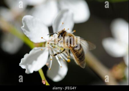 Baumblüten mit Biene - Stock Photo