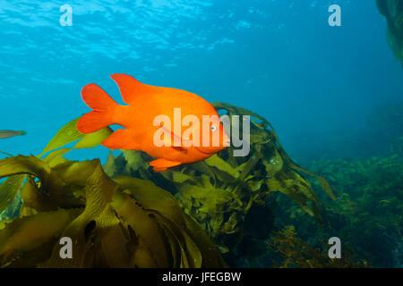 Garibaldi damselfish in kelp forest, Hypsypops rubicundus, San Benito Island, Mexico - Stock Photo