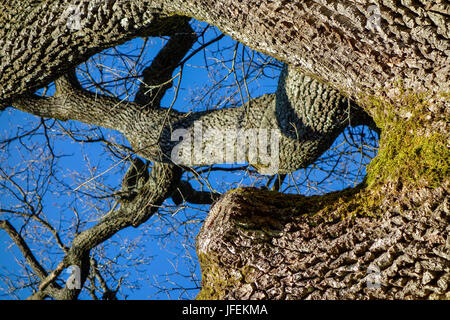 Tree, oak in winter without leaves - Stock Photo
