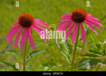 Red solar hat, Echinacea angustifolia - Stock Photo