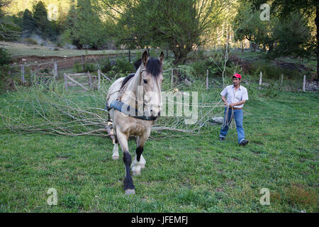 Chile, Araucania, Alto bio bio, Mapuche, man, horse, transport of firewood, - Stock Photo