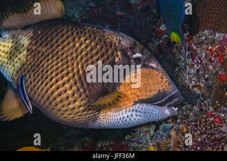 Titan triggerfish (Balistoides viridescens) eats coral while bluestreak wrasse feeds and cleans as well. Indian - Stock Photo