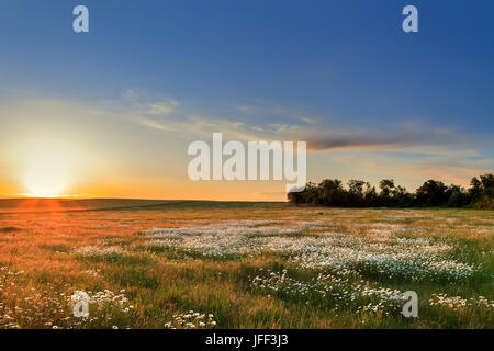 Sunset over a field of chamomile - Stock Photo