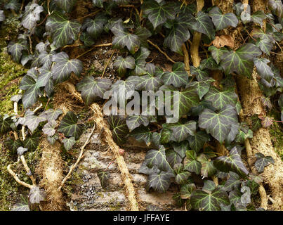 ivy; hedera helix; climbing plant; - Stock Photo