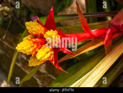 A very exotic looking flower of shade plant - Stock Photo