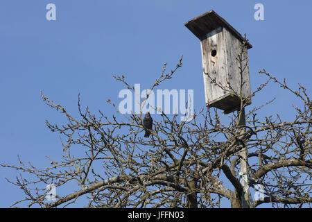 Sturnus vulgaris, Starling, near birdhouse - Stock Photo