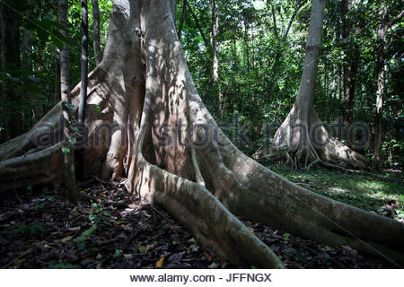 Trees with giant buttress roots in a forest landscape. - Stock Photo