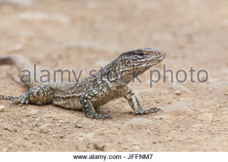 Portrait of a Tumbesian tegu lizard, Callopistes flavipunctatus. - Stock Photo