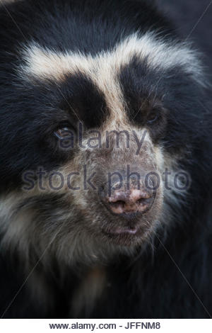 Close up portrait of a captive spectacled bear, Tremarctos ornatus. - Stock Photo
