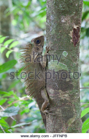 Portrait of a blue-eyed angle headed lizard, Gonocephalus liogaster, on a tree trunk. - Stock Photo
