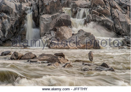 A great blue heron, Ardea herodias, on a rock in the swift moving waters of Great Falls. - Stock Photo