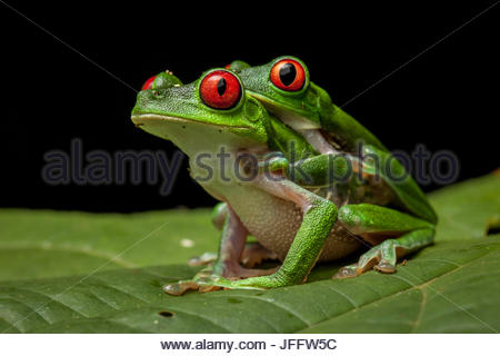 Red-eyed tree frogs, Agalychnis calidryas, mating. - Stock Photo