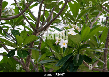 White plumeria flowers on a tree in Laos, Asia - Stock Photo